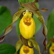 Wild Yellow Ladyslipper Poster