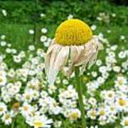 Wilted Daisy In The Garden Poster