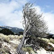 Windswept Tree Poster