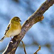 Winter Morning Song Bird Poster