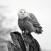 Winter Snowy Owls Poster