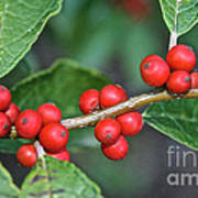 Winterberry Poster