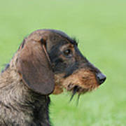 Wire-haired Dachshund Dog  Poster