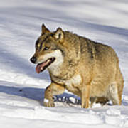 Wolf Canis Lupus Walking In Snow Poster