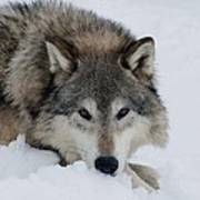 Wolf Closeup Poster