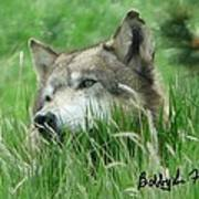 Wolf Laying In Grass Poster