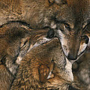 Wolf Pack Biting Each Others Muzzles Poster