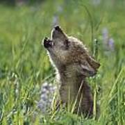 Wolf Puppy Howling In Mountain Meadow Poster