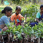 Women Grafting Mango Plants Poster by Johnson Moya