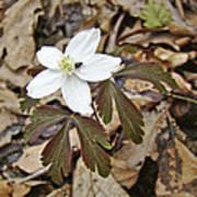 Wood Anemone - Anemone Quinquefolia Poster