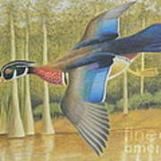 Wood Duck Flying Poster