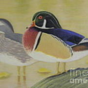 Wood Duck Pair Lakeside Poster