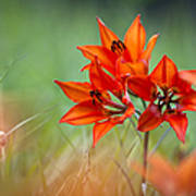 Wood Lily Poster