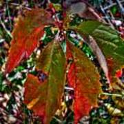 Woodbine Autumn Colors Poster