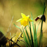 Woodland Narcissus Poster