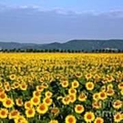 World Of Sunflowers Poster