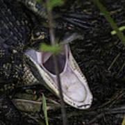 Yawning Baby Alligator Poster