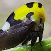 Yellow And Black Treehopper Poster