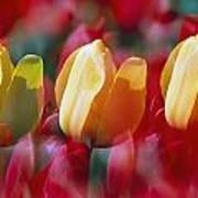 Yellow And Red Tulip Blooms Poster