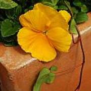 Yellow Blossom On Planter Poster
