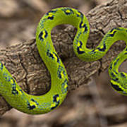 Yellow-blotched Palm Pitviper Poster