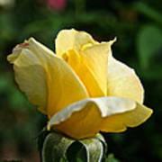 Yellow Bud Poster
