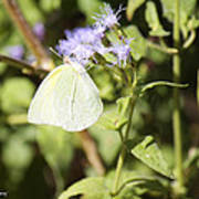 Yellow Butterfly Feeding On Violet Flower Poster