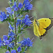 Yellow Cabbage Butterfly Poster