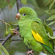 Yellow-chevroned Parakeet Brotogeris Poster