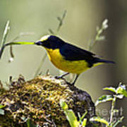 Yellow-crowned Euphonia Poster