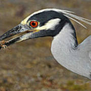 Yellow Crowned Night Heron With Catch Poster