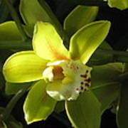 Yellow Cymbidium Poster