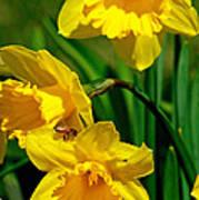 Yellow Daffodils And Honeybee Poster