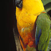 Yellow-faced Parrot Amazona Xanthops Poster