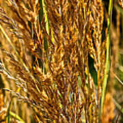 Yellow Feather Reed Grass Poster