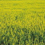 Yellow Field Of Canola Poster