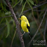 Yellow Finch - Artist Cris Hayes Poster