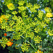 Yellow Firework Or Dill In Its Glory Poster