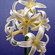 Yellow Hyacinth Poster