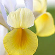 Yellow Iris Poster