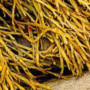 Yellow Kelp Poster