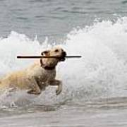 Yellow Lab Ocean Fetch Poster