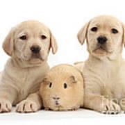 Yellow Labrador Retriever Pups Poster