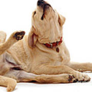 Yellow Labrador Scratching Poster