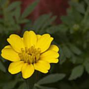 Small Yellow Zinnia Poster