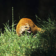 Yellow Mongoose Poster