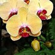 Yellow Moth Orchids Poster