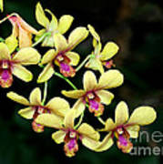 Yellow Orchid Cascade Poster