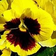 Yellow Pansey Poster