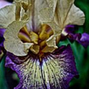 Yellow  Purple Iris Poster